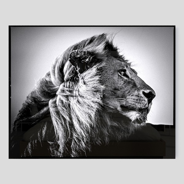 photo-lion-in-the-wind-3-laurent-baheux